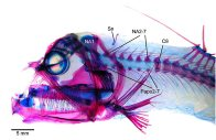 Cleared and stained Viperfish