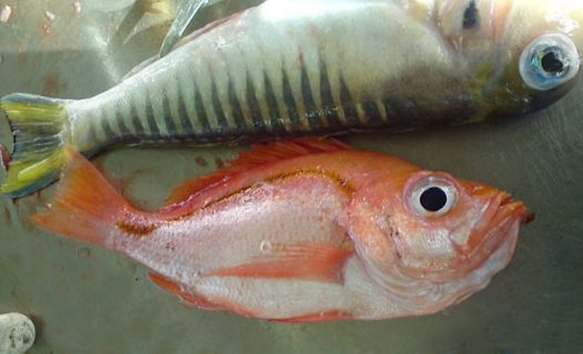 Sharphead Perch and Australian Barred Tilefish
