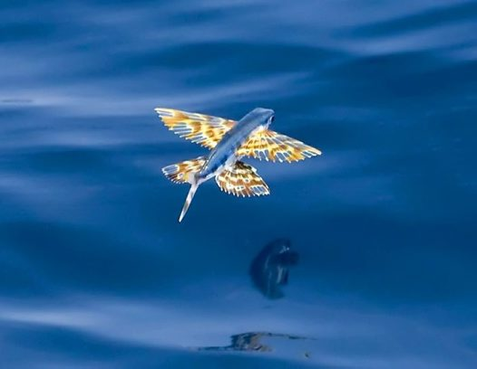 Yellow wing flyingfish cypselurus poeciliopterus for Flying fish images