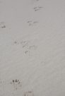 Mammal tracks at Lizard Island