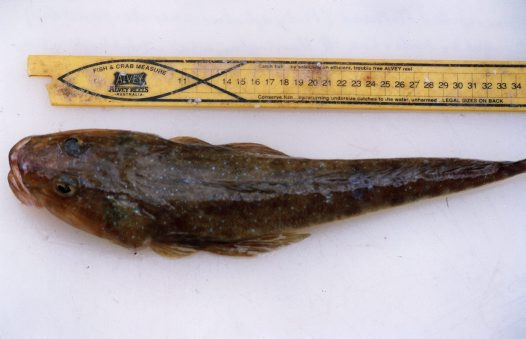Bluespotted Flathead from Harrington