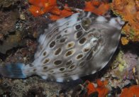 Mosaic Leatherjacket at Second Valley