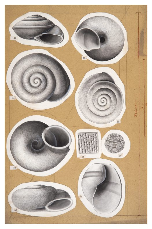 Shell drawing by Winifred West AMS546/18.6