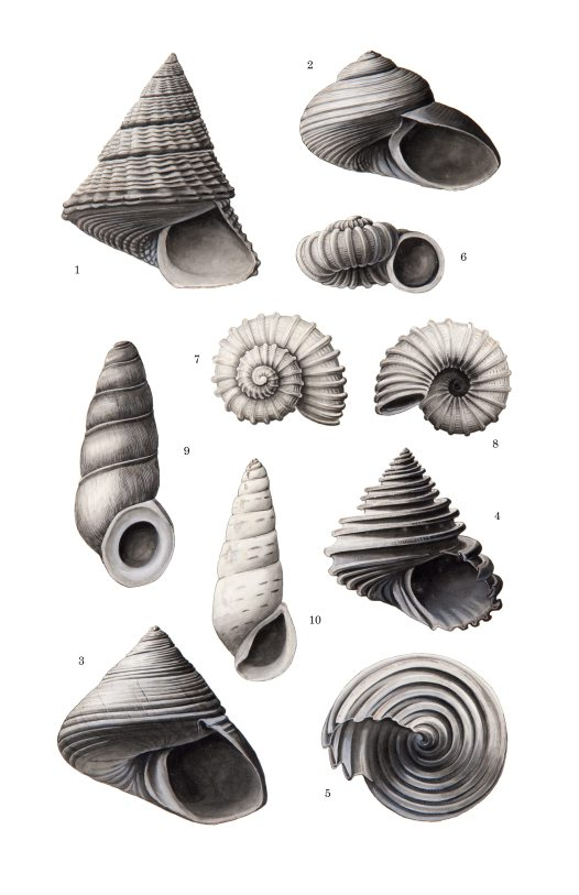 Shell drawing by Winifred West AMS546/27.1