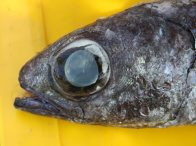 Head of a Black Deepsea Cardinalfish