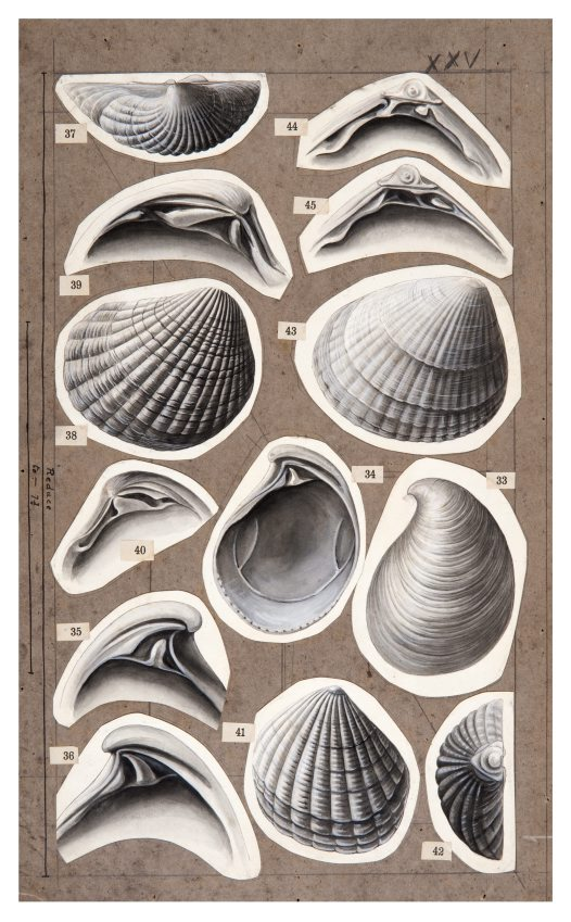 Shell drawing by Winifred West AMS546/27.2