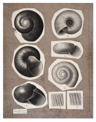 Shell drawing by Winifred West AMS546/28.1