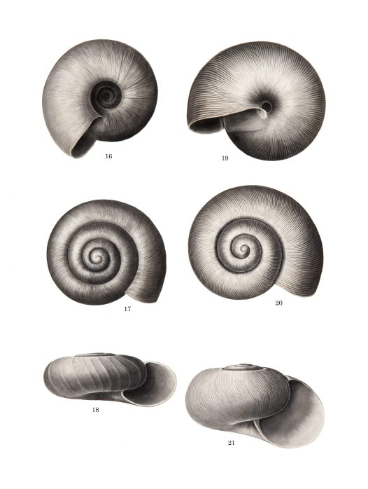Shell drawing by Winifred West AMS546/28.3