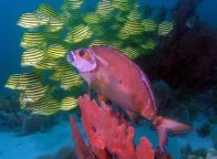 Red Morwong and a school of Stripeys