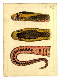 Watercolour of a Golden-crowned Snake