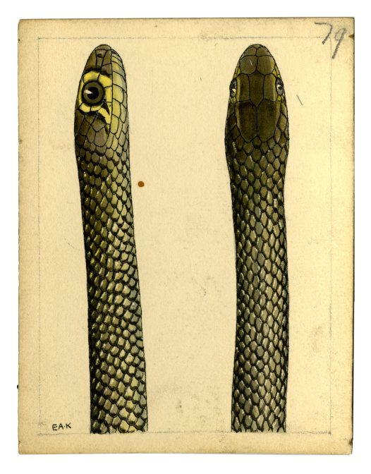 Watercolour of a Reticulated Whip Snake