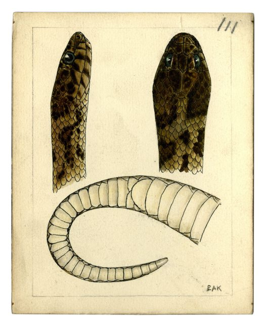 Watercolour of a Rosen's Snake