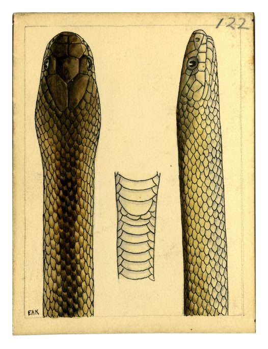 Watercolour of a Black-striped Snake