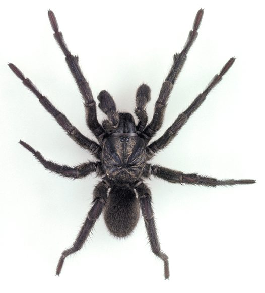 Sydney Brown Trapdoor Spider, male