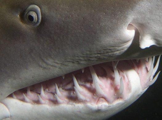 Greynurse Shark up close