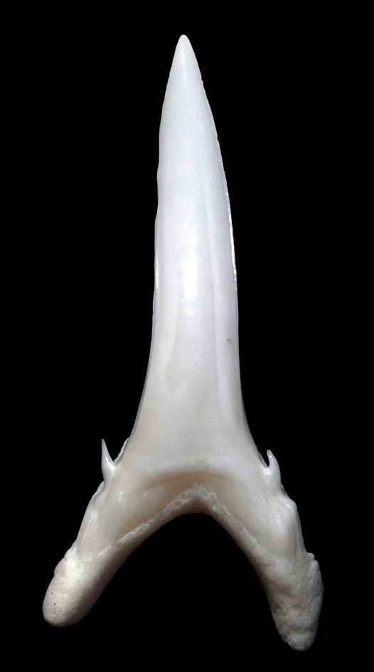 Tooth from a Greynurse Shark
