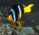 Clark's Anemonefish at Hideaway Island