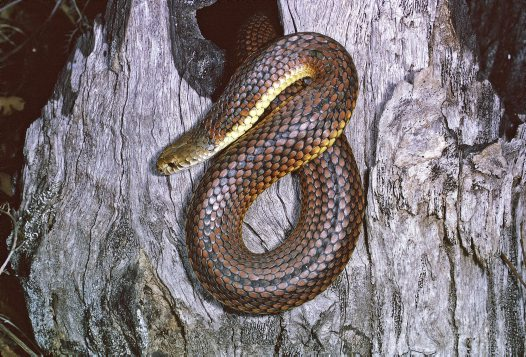 Australian Copperhead