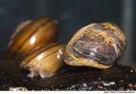 Fraser's Rainforest Snails, shells