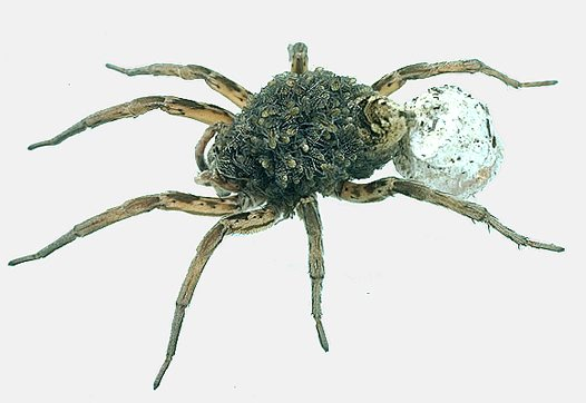 Female Wolf spider with young and egg sac