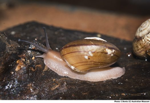 Fraser's Rainforest Snail