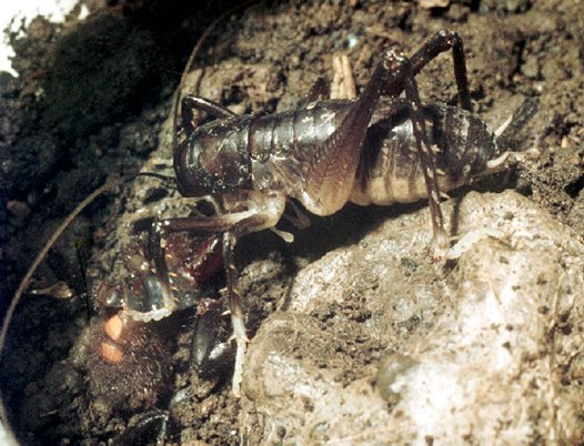 King Cricket eating Funnel-web Spider