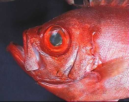 Head of a Longfin Bigeye