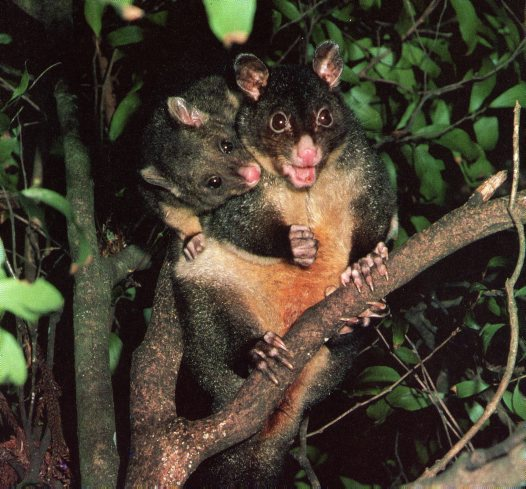 Short-eared Brushtail Possum, Trichosurus caninus