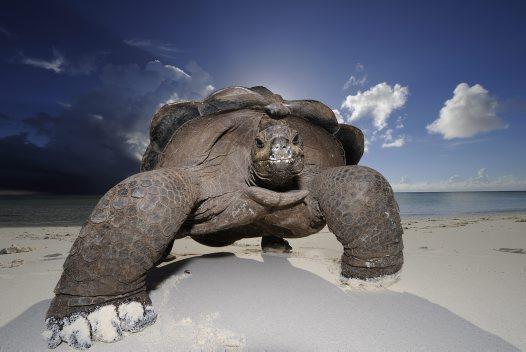 Giant beachcomber