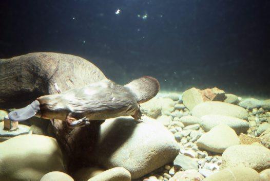 Platypus underwater