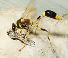 Mud dauber wasp stinging and paralysing spider