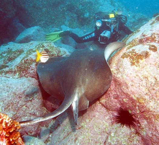 Smooth Stingray, Dasyatis brevicaudata