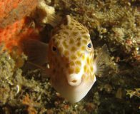 Eastern Smooth Boxfish, Anoplocapros inermis