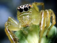A Jumping Spider's (Mopsus mormon) eyes