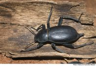 Egyptian Beetle on bark