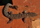 Marbled Gecko