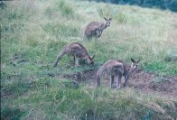 Eastern Grey Kangaroos grazing
