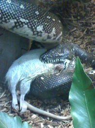 Diamond Python eating rat