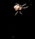 Hairy Imperial spider with Bolas line