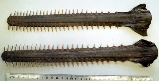 Green Sawfish rostra