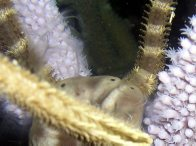 Brittlestar spawning closeup