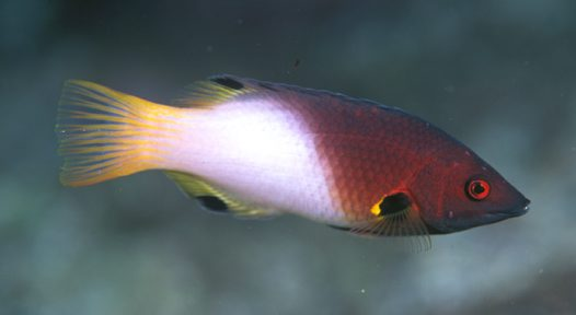 An Axilspot Hogfish at North Solitary Island