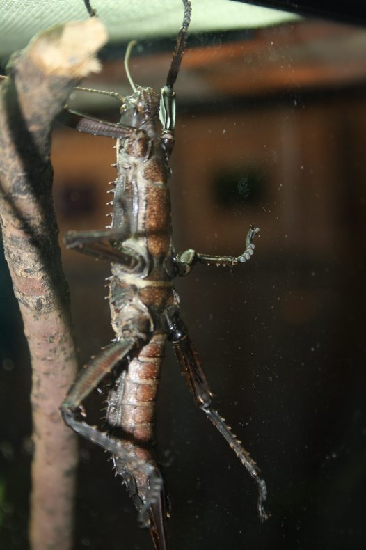 Giant Spiny Stick Insect on Glass