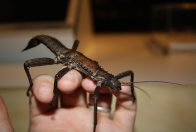 Giant Spiny Stick Insect on hand
