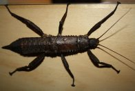 Giant Spiny Stick Insect