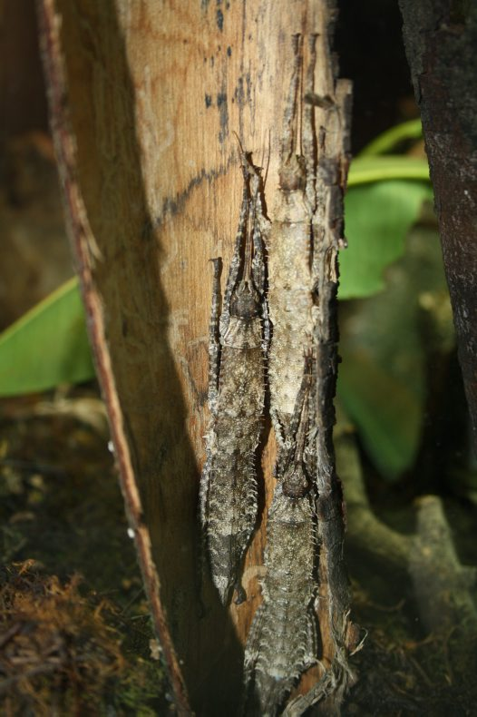 Giant Spiny Stick Insects Resting