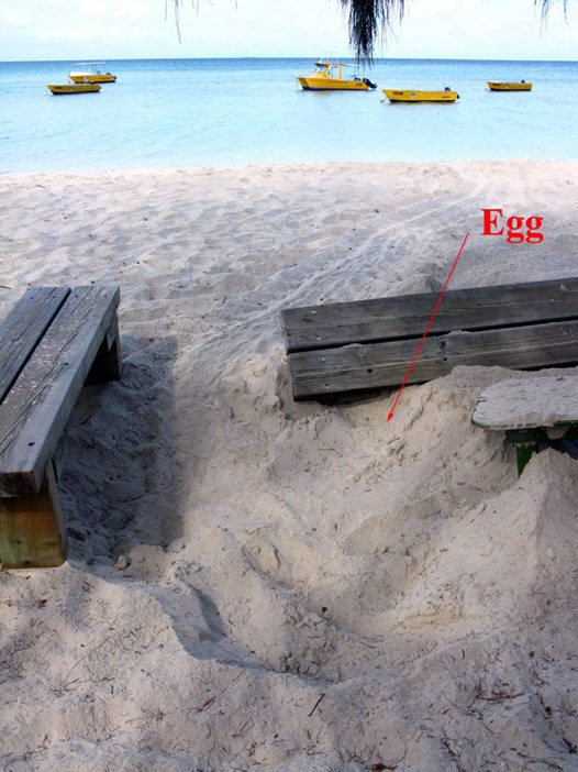 Turtle nest with egg at surface