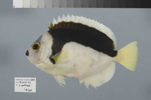 A Ballina Angelfish from the NORFANZ expedition