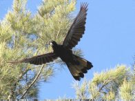 Flying Yellow-tailed Black-cockatoo