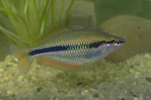 A Banded Rainbowfish from the Dalhunty River